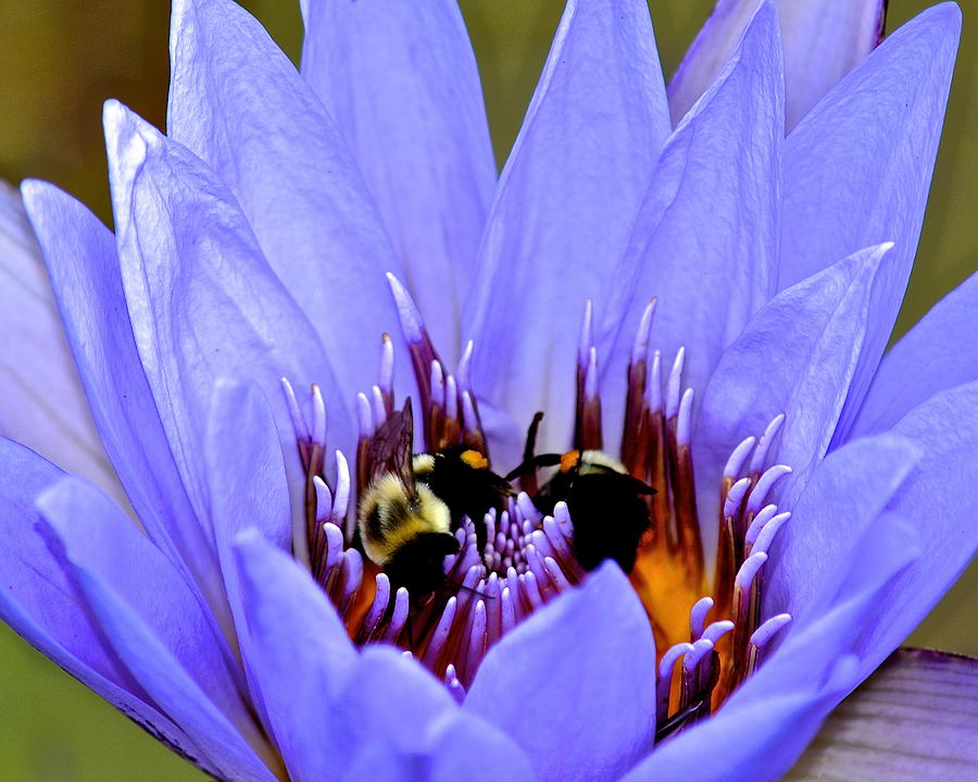 Bumble Bee Water Lily Photograph  - Bumble Bee Water Lily Fine Art Print