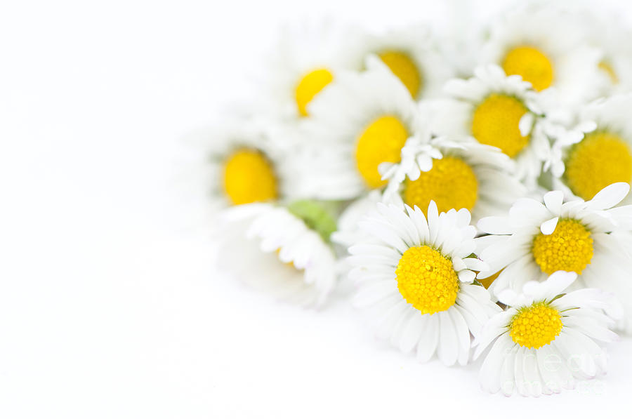 Bunch Of Daisies Photograph  - Bunch Of Daisies Fine Art Print