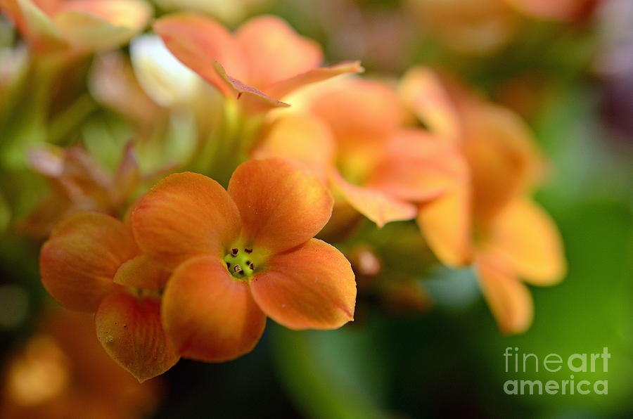Bunch Of Small Orange Flowers Photograph