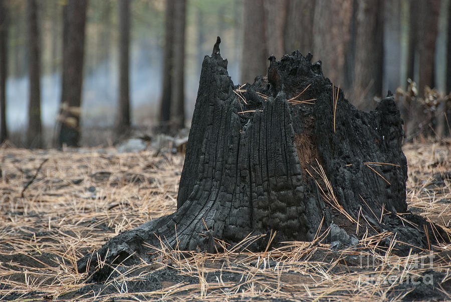 Burnt Tree Trunk Photograph