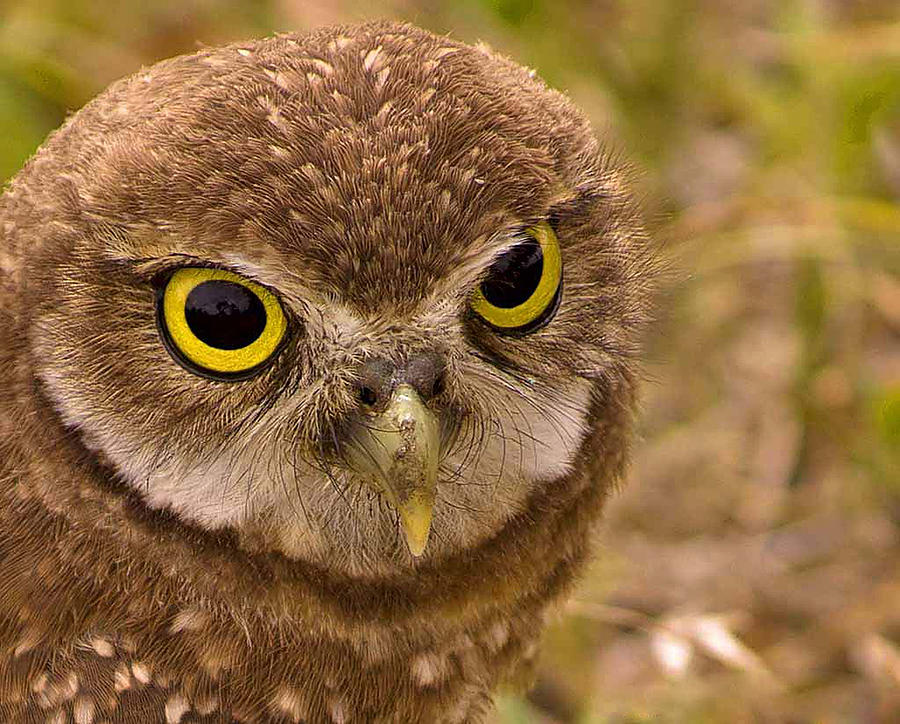 Burrowing Owl Portrait Photograph