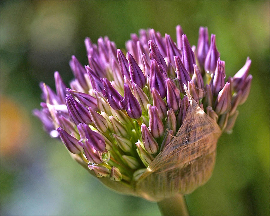 Bursting Allium Purple Sensation Photograph  - Bursting Allium Purple Sensation Fine Art Print