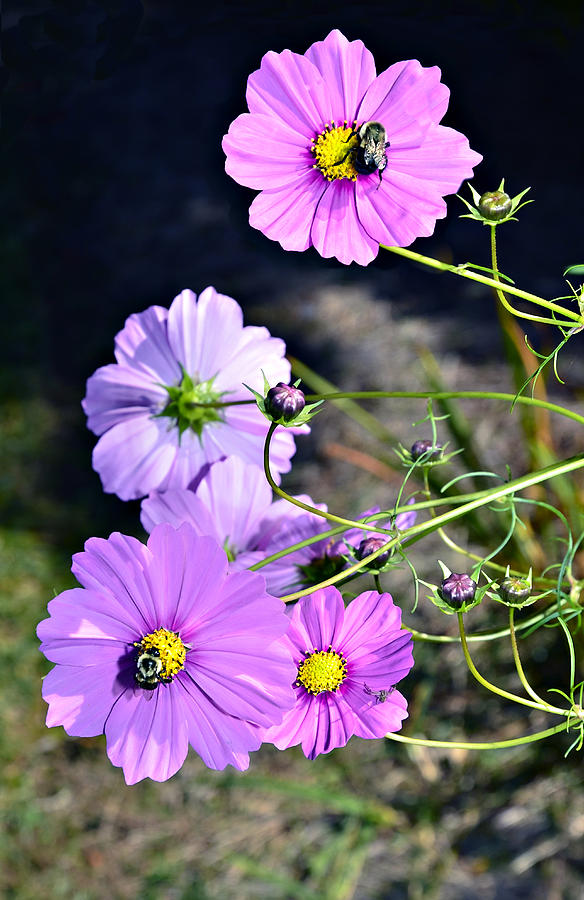 Busy Bees Photograph  - Busy Bees Fine Art Print