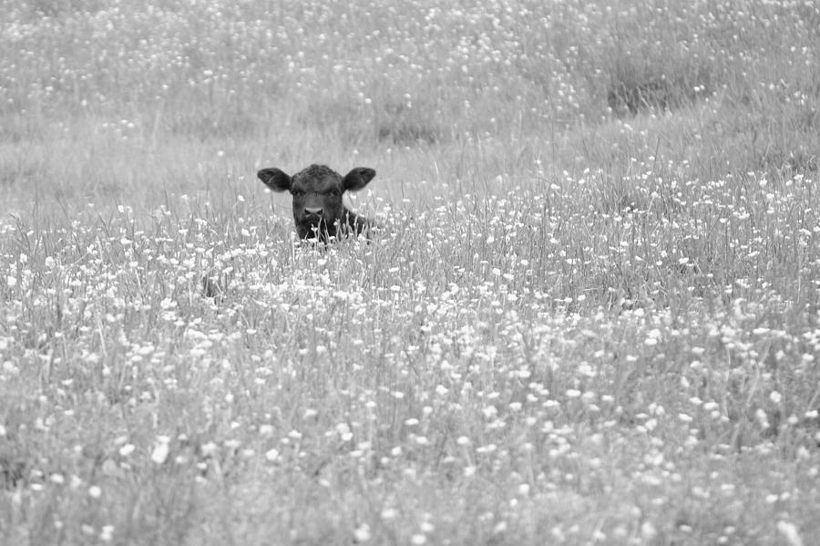 Buttercup In Black-and-white Photograph