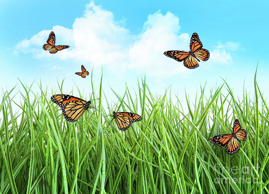 Butterflies In Tall Wet Grass  Photograph