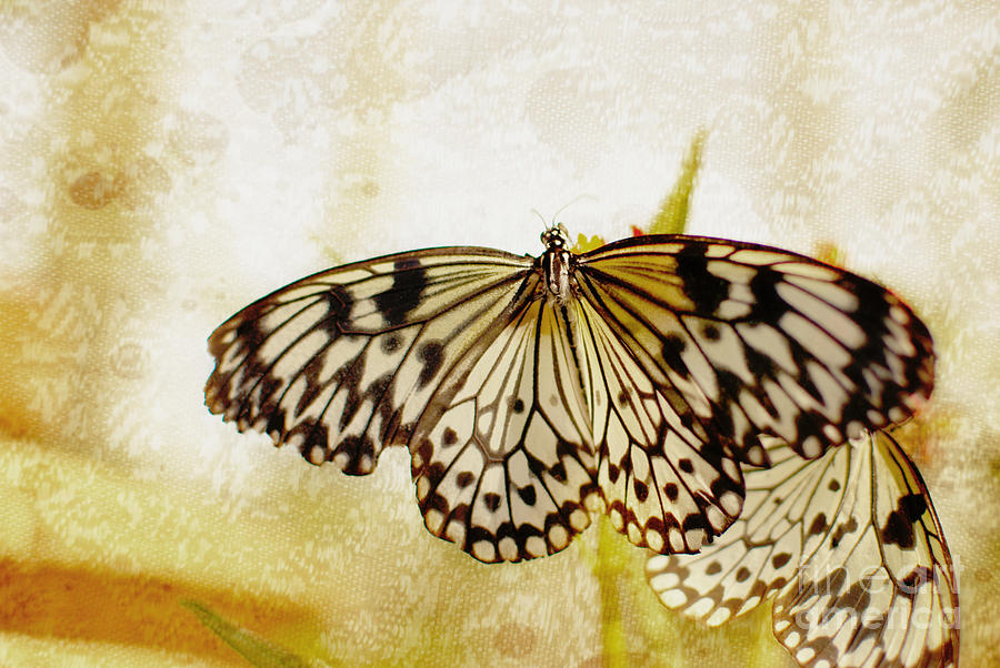 Butterflies On Lace Photograph