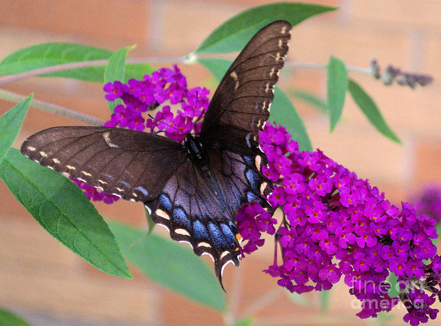 Butterfly Photograph - Butterfly And Friend by Luther   Fine Art
