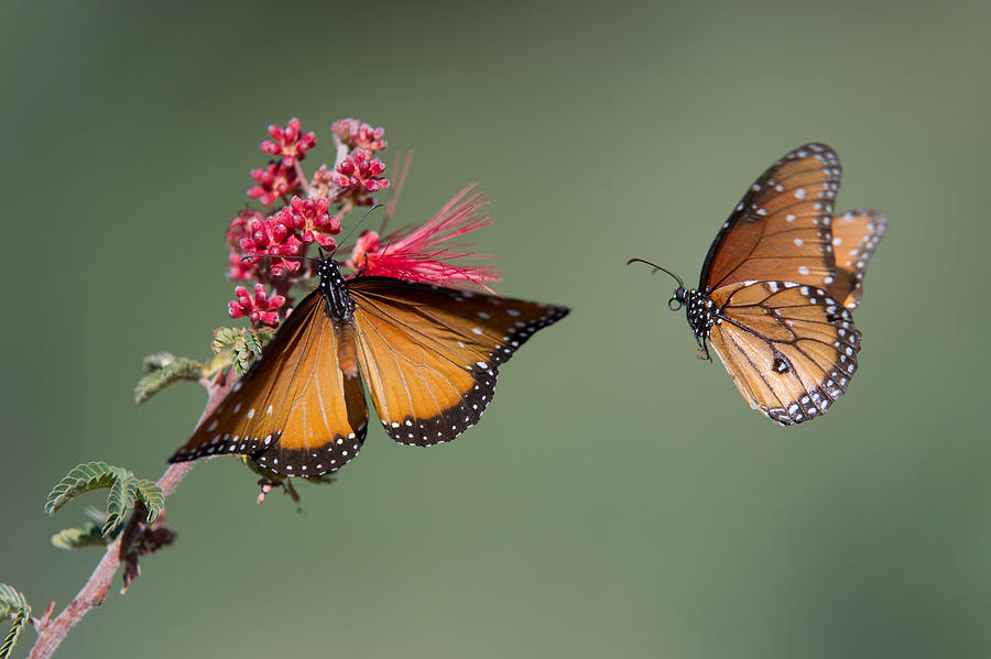 Butterfly Flight Photograph  - Butterfly Flight Fine Art Print