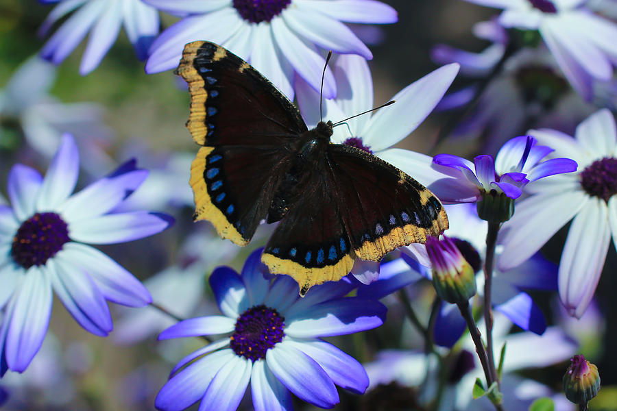 Butterfly In Blue Photograph  - Butterfly In Blue Fine Art Print