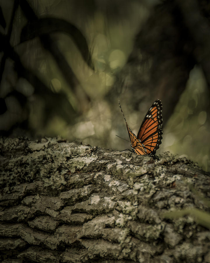 Butterfly  Photograph - Butterfly by Mario Celzner