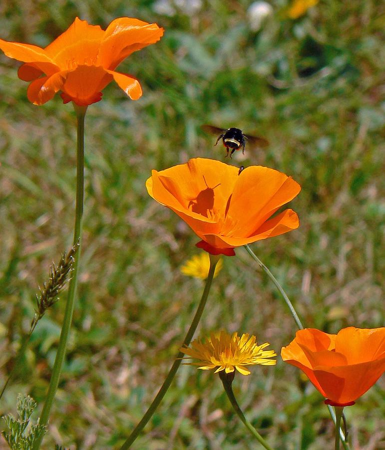 Ca Poppies And Bee Photograph