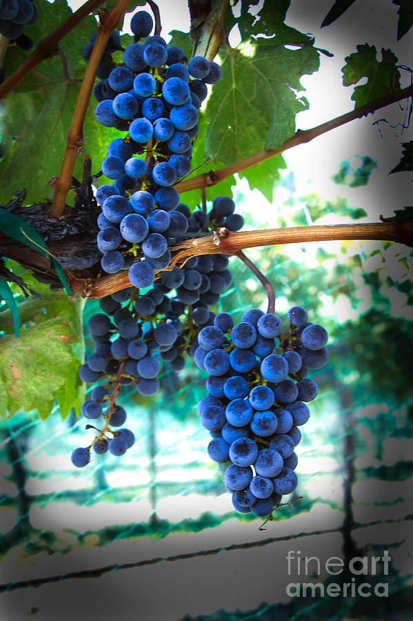 Red Wine Photograph - Cabernet Sauvignon Grapes by Robert Bales