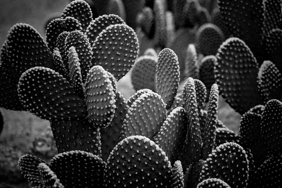 Botanicals Photograph - Cactus 5252 by Timothy Bischoff