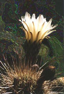 Cactus Digital Art