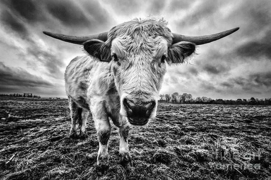 Cadzow Cattle Photograph - Cadzow White Cow Female by John Farnan
