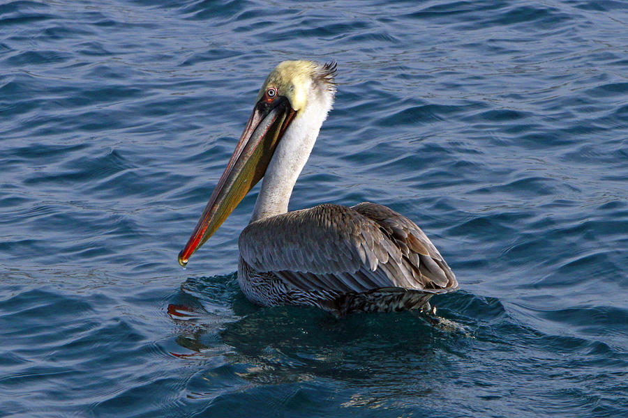 Bird Photograph - California Brown Pelican by Shoal Hollingsworth