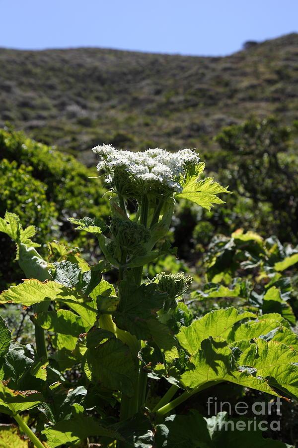 Bayarea Photograph - California Coast Hillside Flower 5d22613 by Wingsdomain Art and Photography