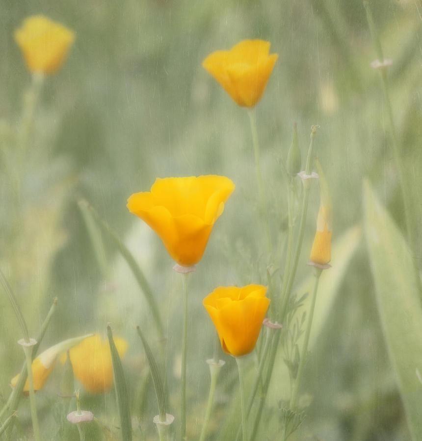 California Poppies Photograph