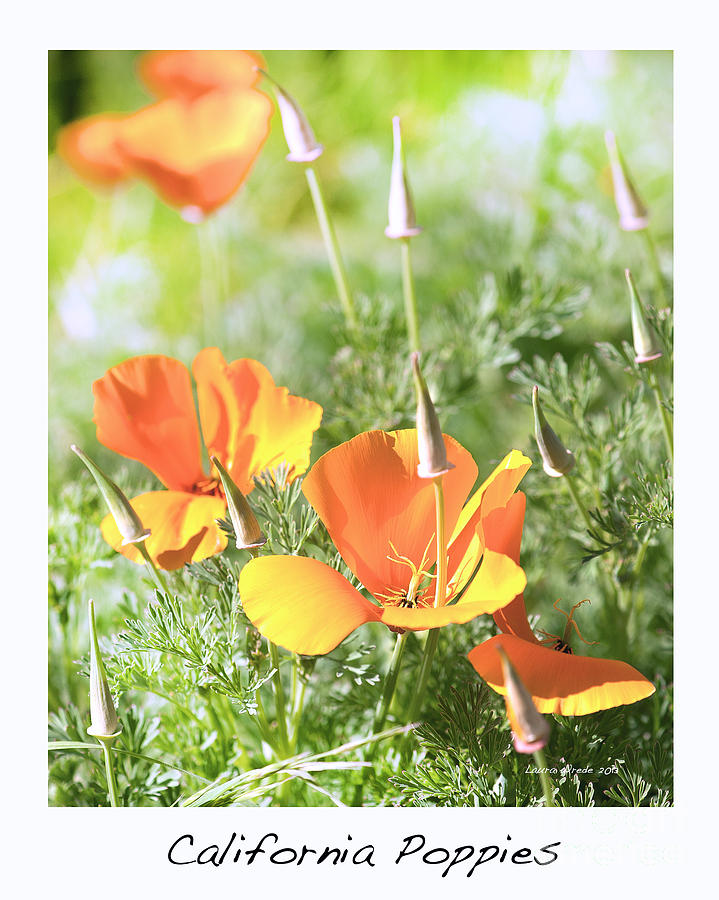 California Poppies Photograph - California Poppies by Artist and Photographer Laura Wrede