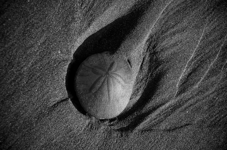 California Sand Dollar Photograph  - California Sand Dollar Fine Art Print