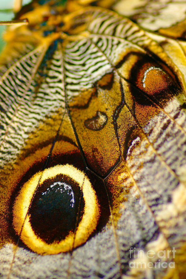 Caligo Atreus Photograph
