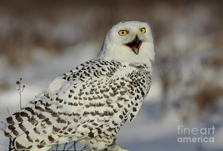 Call Of The North - Snowy Owl Photograph  - Call Of The North - Snowy Owl Fine Art Print