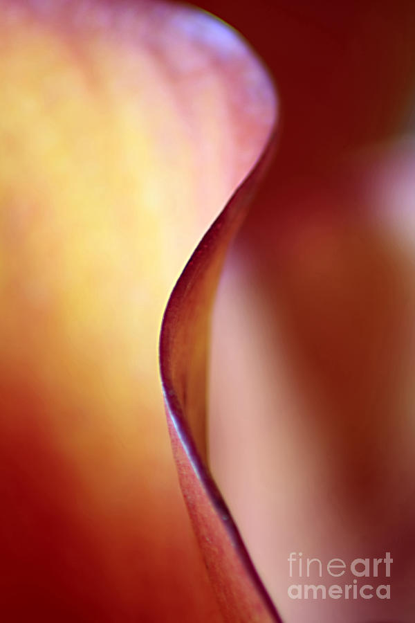 Calla Lily Abstract Photograph  - Calla Lily Abstract Fine Art Print