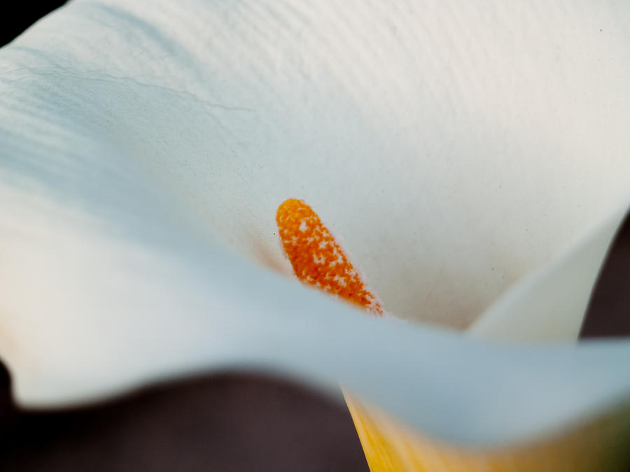 Cal Lilly Photograph - Calla Lily II by Bill Gallagher