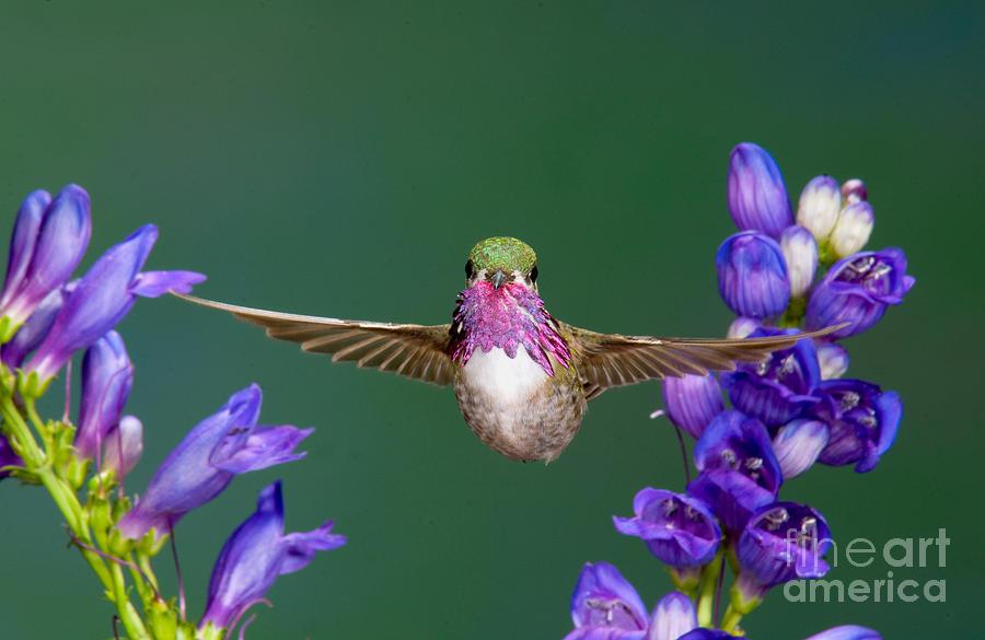 Fauna Photograph - Calliope Hummingbird Stellula Calliope by Anthony Mercieca