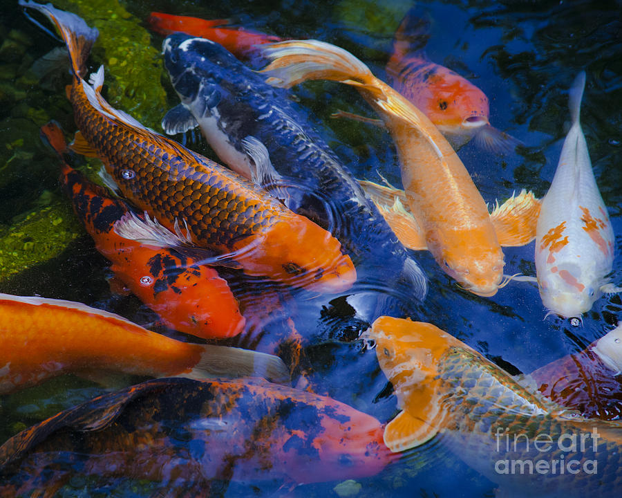 Calm Koi Fish Photograph