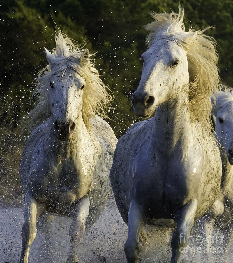 Camargue Spray Photograph