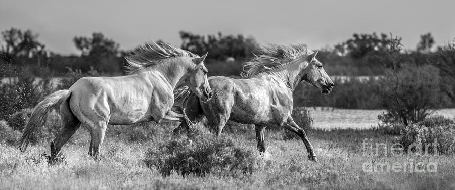 Camargue Stallions Photograph