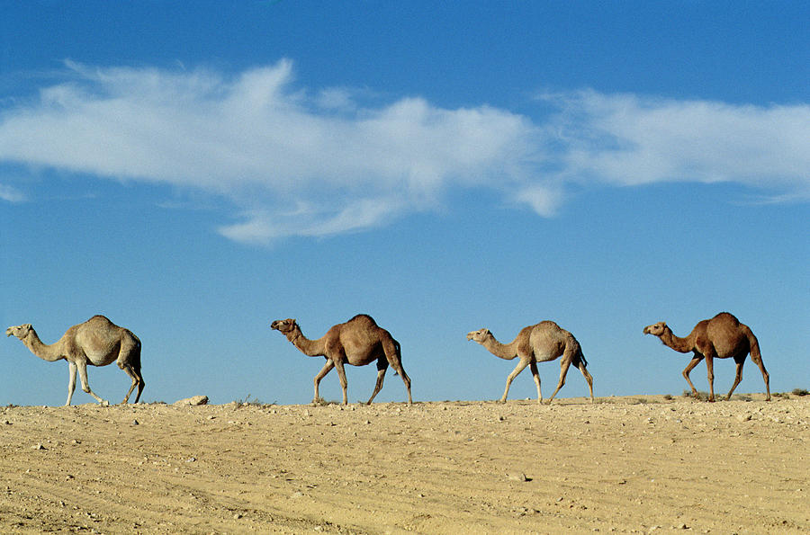Camel Train Photograph