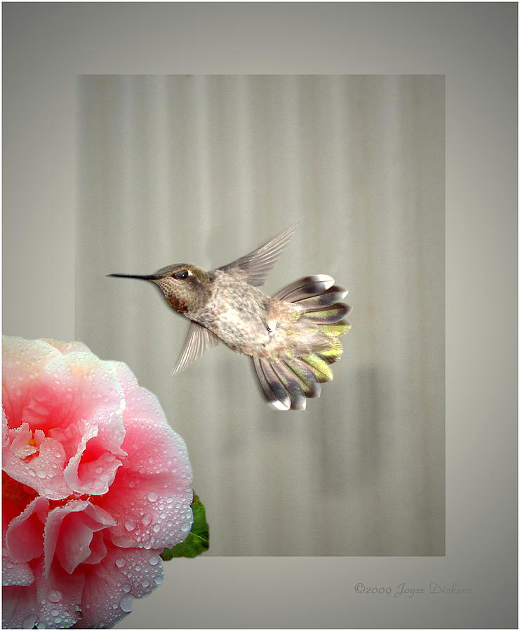Camellia And Hummer Photograph  - Camellia And Hummer Fine Art Print