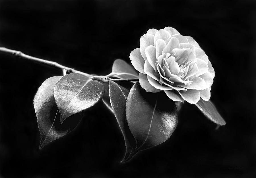 Photograph camellia flower in black and white by jennie marie schell