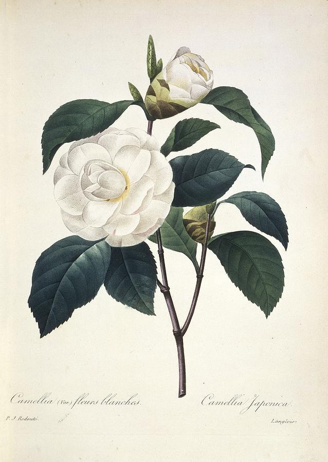 Camellia Japonica, 19th Century Photograph