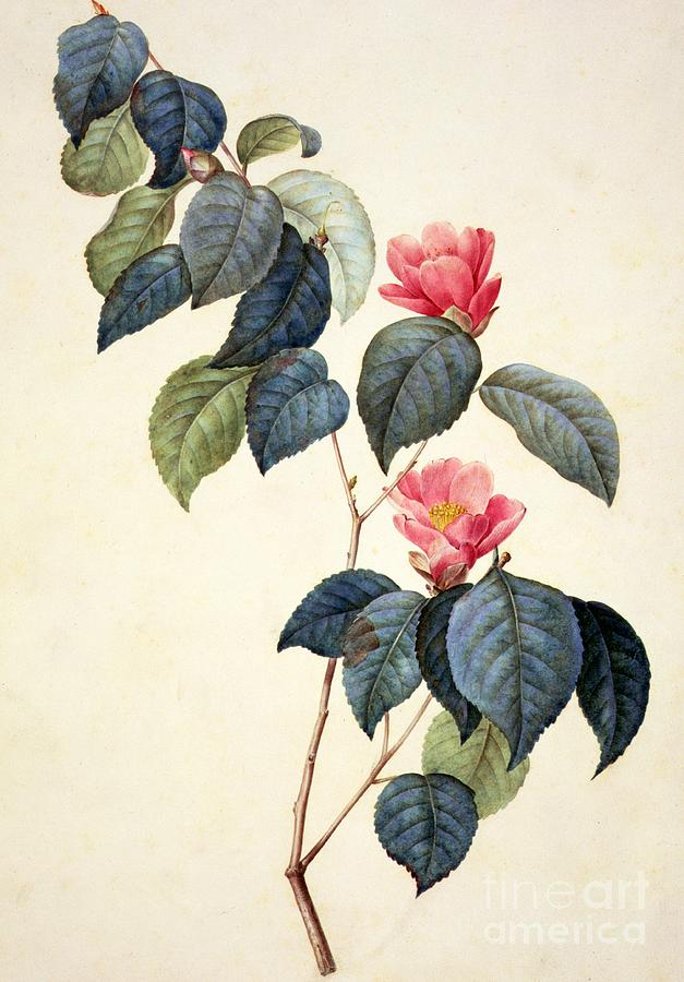Camellia Japonica Painting