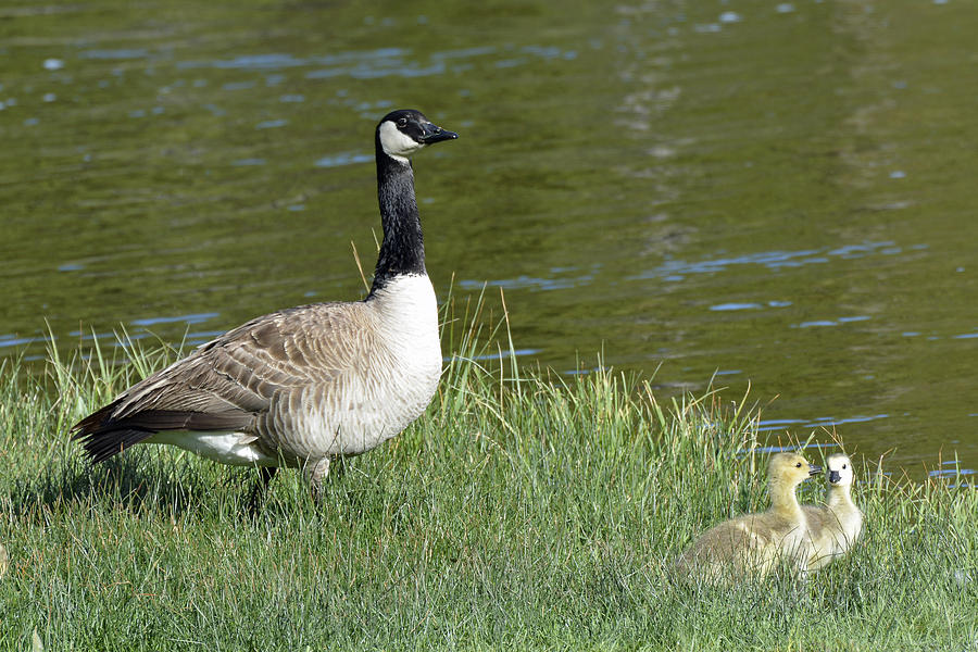 Canada Goose Mom With Goslings Photograph