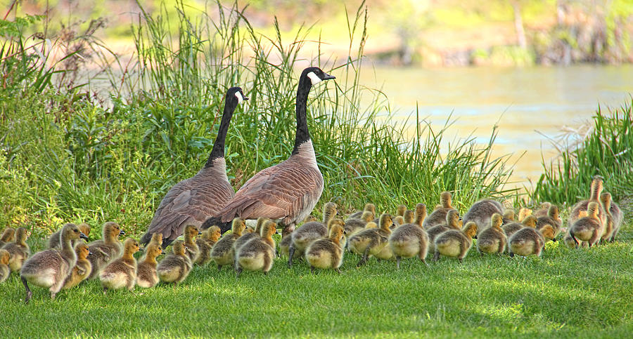 Canadian Geese Family Photograph  - Canadian Geese Family Fine Art Print
