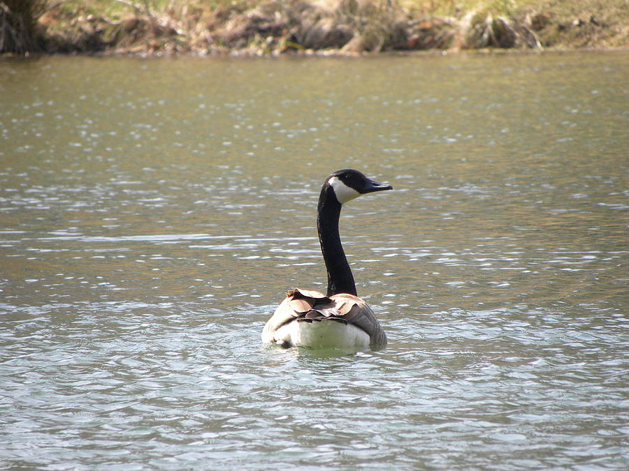 Canadian Goose Swimming Photograph