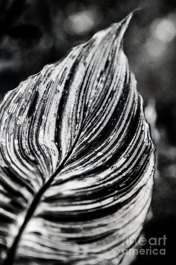 Canna Leaf Photograph