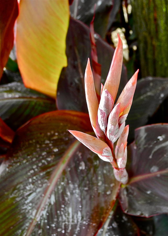 Canna Lilies Photograph - Canna Lilies IIi  by Kirsten Giving