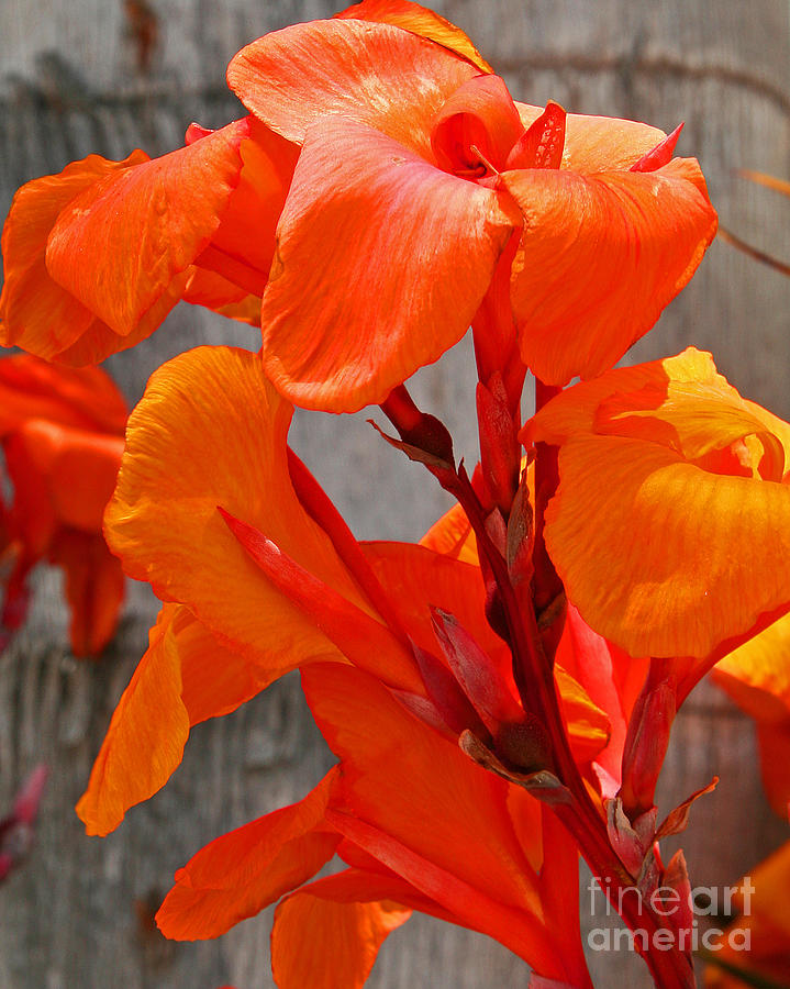 Canna Lilly Up Close Photograph  - Canna Lilly Up Close Fine Art Print