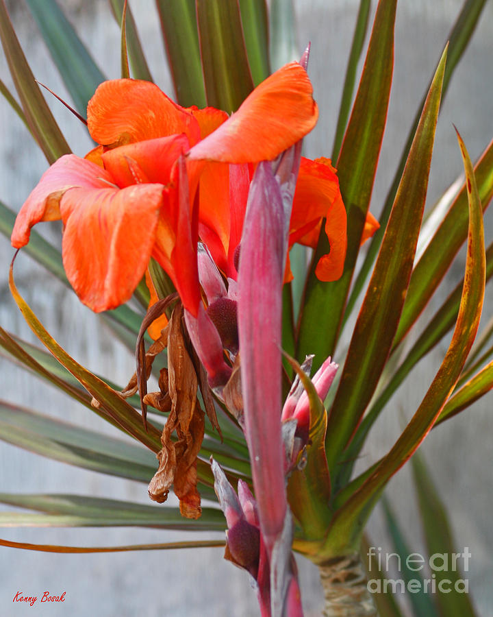 Canna Lily - Birth  Maturity And Death Photograph  - Canna Lily - Birth  Maturity And Death Fine Art Print