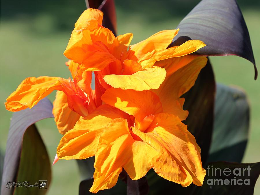 Canna Lily Named Wyoming Photograph