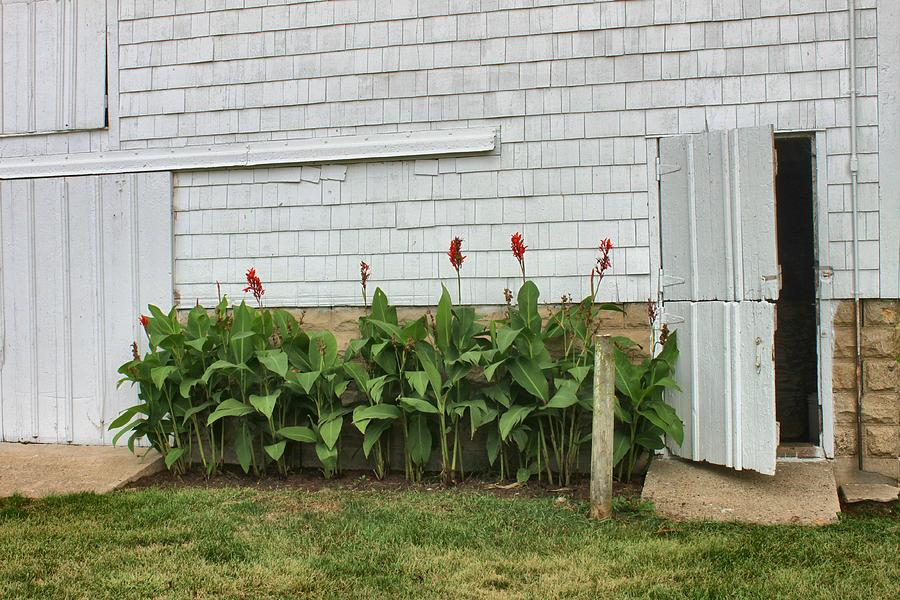 Cannas By Quaker Barn Photograph