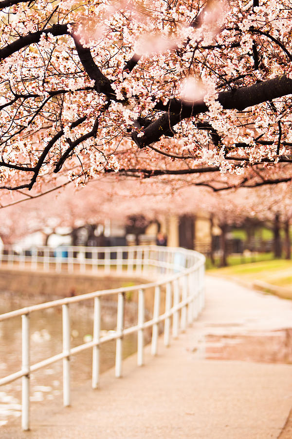 Canopy Of Cherry Blossoms Over A Walking Trail Photograph