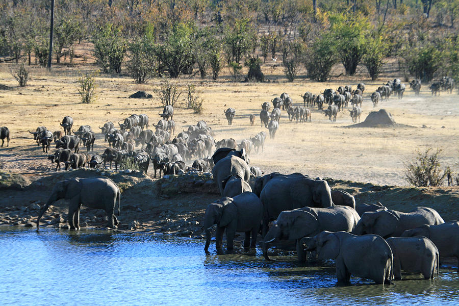Cape Buffalo And Elephants Compete For Water Photograph  - Cape Buffalo And Elephants Compete For Water Fine Art Print
