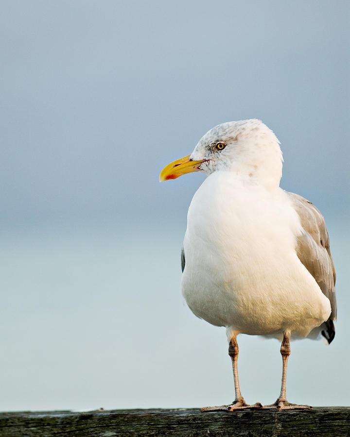 Cape Cod Seagull Photograph