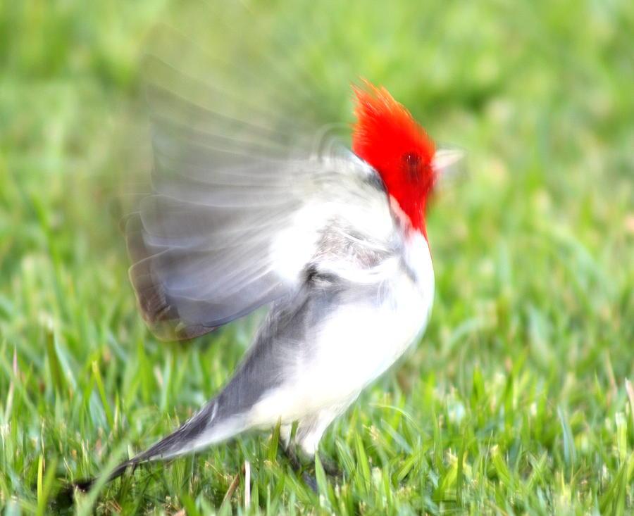 Cardinal Pyrography
